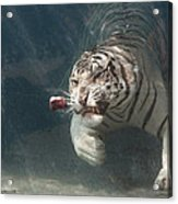 Tiger Shark Acrylic Print by Buck Forester