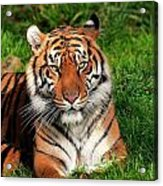 Tiger Sitting In The Grass Acrylic Print