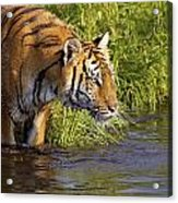 Tiger Standing In Water Acrylic Print