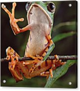 Tiger Striped Leaf Frog Waving Acrylic Print
