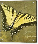 Tiger Swallowtail Butterfly - Papilio Glaucas Acrylic Print