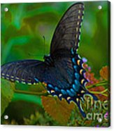 Tiger Swallowtail Butterfly Female Acrylic Print