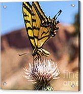 Tiger Swallowtail Butterfly In The Desert Acrylic Print