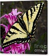 Tiger Swallowtail On Pink Hyacinth Acrylic Print