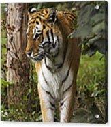 Tiger Walking Acrylic Print