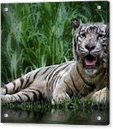 Tiger White Acrylic Print