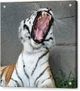 Tiger Yawn Acrylic Print
