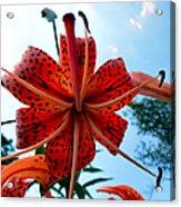 Tigerlily Acrylic Print