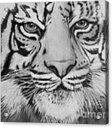 Tiger's Eyes Acrylic Print