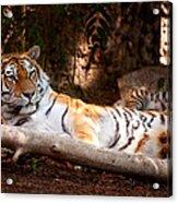 Tigress And Cubs Acrylic Print