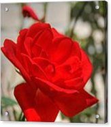 Timeless Red Beauty Acrylic Print