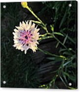 Tiny And Delicate Acrylic Print