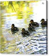 Tiny Baby Ducks Acrylic Print