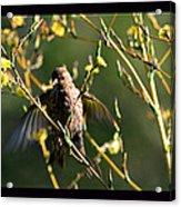 Tiny Bird In Wild Lettuce  Acrylic Print