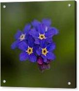 Tiny Blossoms Acrylic Print
