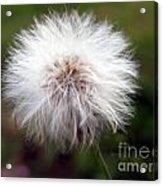 Tiny Dandelion Closeup Acrylic Print