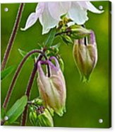 Tiny Floral Swans And Cygnets Acrylic Print