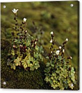 Tiny Flowering Plant Grows In Moss Acrylic Print