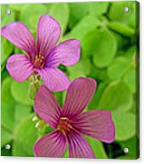 Tiny Flowers In The Clover Acrylic Print