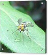 Tiny Fly Acrylic Print