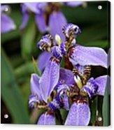 Tiny Purple Iris Acrylic Print