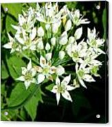 Tiny White Flowers Acrylic Print