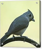 Titmouse On A Perch Acrylic Print