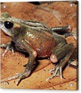 Toad Atelopus Senex On A Leaf Acrylic Print