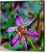 Toad Lilly 1 Acrylic Print