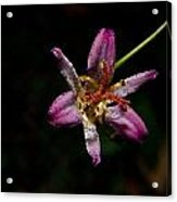 Toad Lilly 2 Acrylic Print