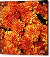Toasted Orange Chrysanthemums Acrylic Print