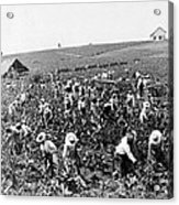 Tobacco Field In Montpelier - Jamaica - C 1900 Acrylic Print