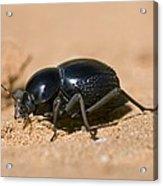 Tok-tokkie Beetle Acrylic Print
