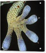 Tokay Gecko Gecko Gecko Underside Acrylic Print