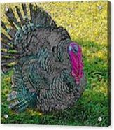Tom Turkey Pencil Drawing Acrylic Print
