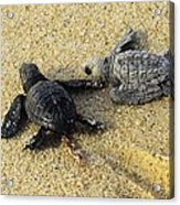 Tommy And Timmy Turtle Acrylic Print