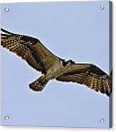 Topsail Osprey Acrylic Print