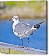 Topsail Seagull Acrylic Print by Betsy Knapp