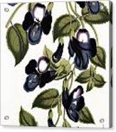 Torenia Asiatica Pulcherrima Acrylic Print
