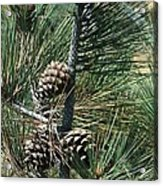 Torrey Pine Cones Acrylic Print