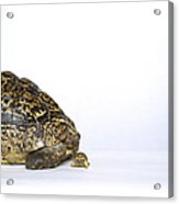 Tortoise Love Acrylic Print
