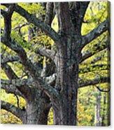 Tortured Trees Acrylic Print