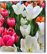 Totally Tulips Acrylic Print