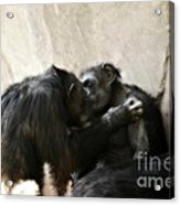 Touching Moment Gorillas Kissing Acrylic Print