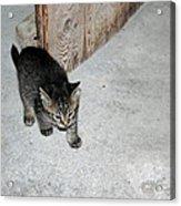 Tough Barn Kitten Acrylic Print