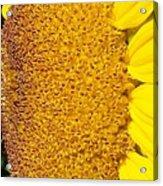 Sunflower -tournesol - Flower Acrylic Print