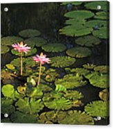 Tower Grove Park Water Lilies Acrylic Print