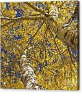Towering Autumn Aspens With Deep Blue Sky Acrylic Print