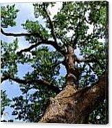 Towering Oak In Summer Acrylic Print