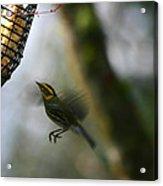 Townsend Warbler In Flight Acrylic Print